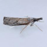 5413 Sod Webworm - Pediasia trisecta