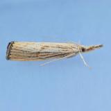 5399  Lesser Vagabond Sod Webworm – Agriphila ruricolellus