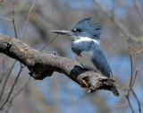 Belted Kingfisher male 1