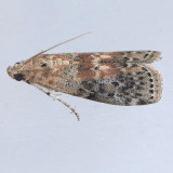 5797  Black-spotted Leafroller - Sciota virgatella