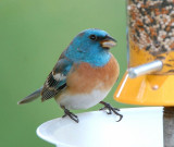 Bluebirds and Blue Birds