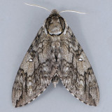 7787 Waved Sphinx - Ceratomia undulosa