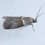 5691 Sweetfern Leaf Casebearer – Acrobasis comptoniella