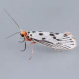 Gelechiidae - Cossidae (1681 - 2700)