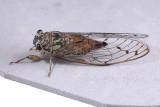Hieroglyphic Cicada  -  Neocicada hieroglyphica