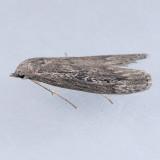 5630 Terrenella Bee Moth – Aphomia terrenella