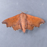 7659  Scalloped Sack-bearer  – Lacosoma chiridota