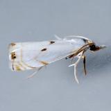 5419  Gold-stripe Grass-veneer - Microcrambus biguttellus