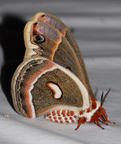 7767  Cecropia Moth – Hyalophora cecropia