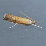 5379  Mottled Grass-veneer - Neodactria luteolellus