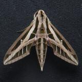 7865  Lesser Vine Sphinx – Eumorpha fasciatus
