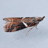 6012  Crescent-winged Caudellia  – Caudellia apyrella