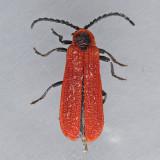Golden Net-wing Beetle - Dictyoptera aurora