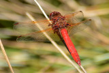 Cardinal Meadowhawk - Palomar Mtn. State Park