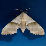 7828  Modest Sphinx - Pachysphinx modesta