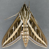 7894 White-lined Sphinx - Hyles lineata