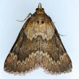 5627 Asimina Webworm Moth – Omphalocera munroei