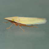 Draeculacephala
