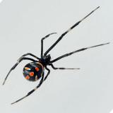 Juvenile Black Widow Spider female