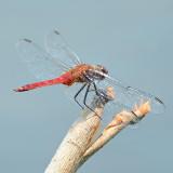 Red-tailed Pennant - Brachymesia furcata