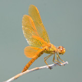 Mexican Amberwing male (with map)