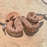 Red Diamond Rattlesnake at Santee Boulders 4