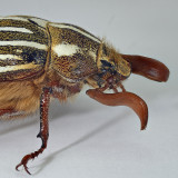 Ten-lined June beetle 50 mm lens - Stackshot