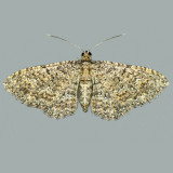 7417 Somber Carpet Moth – Disclisioprocta stellata