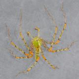 Peucetia viridans - Green Lynx Spider