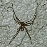 Western Black Widow - male