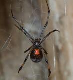 Western Black Widow - female
