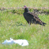 Turkey Vulture with Snow Goose