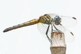Blue Dasher female