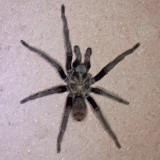 Tarantula - Aphonopelma steindachneri