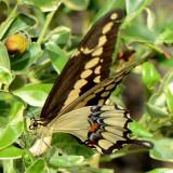 4170.1 Western Giant Swallowtail - Papilio rumiko