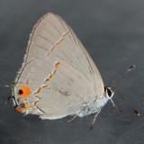4336 Gray Hairstreak - Strymon melinus