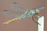 Roseate Skimmer - Orthemis ferruginea