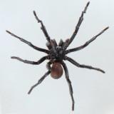 California Trapdoor Spider - Bothriocyrtum californicum
