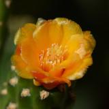 Roadkill cactus - Consolea rubescens