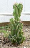 Peruvian Apple Cactus - Cereus Peruvianus monstrose