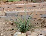 Red Yucca - Hesperaloe parviliora