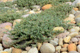 Rosepink Trailing Iceplant - Lapranthis spectabilis