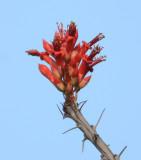 Ocotillo - Foquieria splendens