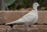 Eureasian Collared Dove - Santee