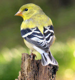 American Goldfinch female May