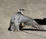 Falconry demo