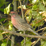House Finch  male  October