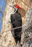 Pileated Woodpecker male 3
