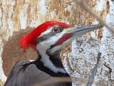 Pileated Woodpecker male -  100% crop