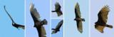 Circling Turkey Vultures